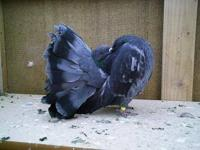 I HAVE SEVERAL BEAUTIFUL FANCY PIGEONS NEEDING NEW