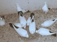 We have several fancy pigeons for sale. Some pairs some