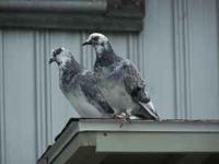 Several beautiful fancy pigeons All young healthy birds