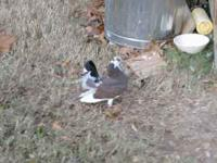 Fantail Pigeons $10, High Point rd ,Clarksville,