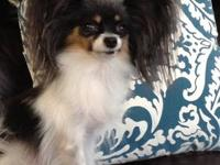 Five and a half year old wonderful papillon female. Tri