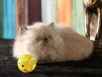 This girl is an outstanding Torti Lynx Point Himalayan