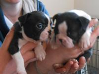 Fantastic French Bulldog Puppies.2males and 3