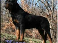 Litter of euro/german Import Rottweiler puppies due