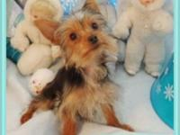 Puddin' is a really petite little Yorkshire Terrier