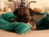 Great, adorable and sweet Toy Chihuahua Puppy. He is
