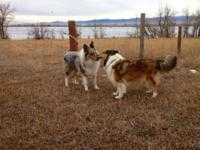 Farm and family raised rough coat collies. Our collies