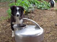 2 Litters of Farmcollies: Dad is a pedigreed English