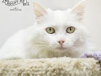 Farrah's story Farrah is a gorgeous Turkish Angora with