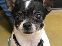 Farris's story Farris is a male Chihuahua, estimated to