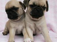 Totally Gorgeous and Sweet Purebred Pug Puppies!