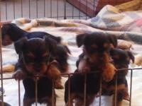 Mom Emily is a AKC 5 lbs Yorkie & & Daddy Buddy is AKC