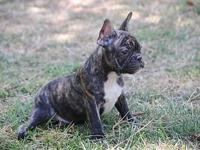 Tiger Brindle Faux Frenchie Puppies, male and female.