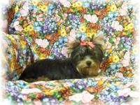 Favour is a friendly and sweet little Yorkie girl. She