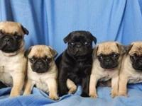 Pug  puppies which  have all shots up to