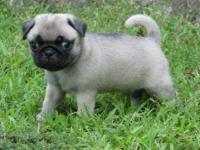 Fawn & Black Pug Pups for sale TEXT 916  -