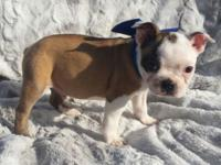 Homer is a stunning fawn/white boston terrier. He is