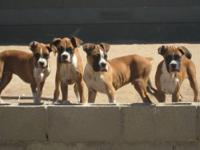 I have 5 beautiful fawn boxer akc puppies for sale. 4