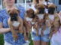 Fawn Boxers, pedigree pups, ready now, 3 remain