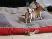 Chihuahua puppies born on August 11, 2015 are in need
