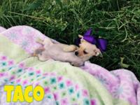 I have a beautiful fawn chihuahua puppy. Her name is