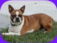 Cherry is a stunning fawn female Boston Terrier. She is