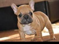 french bulldog puppies available. father with great