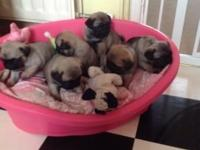 I have for sale gorgeous boys and girls pugs for