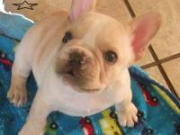 FAWN MALE AKC. BORN 4/27 EXCEPTIONALLY VERY NICE BOY ,