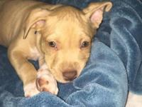 Fawn pitbull 8 weeks This ad was posted with the eBay
