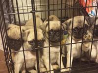 We have purebred pug puppies. 3 females left. Parents