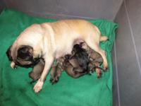 CKC FAWN PUG PUPPIES. 2 AVAILABLE. CKC REG. S/W RECORD