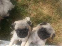 4 female fawn pug puppies will be readily available to
