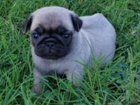 I have two fawn pug puppies that were born on June
