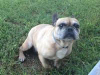 Breeze is an AKC French Bulldog Female looking for a