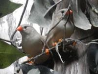 2 fawn female Zebra Finches, hatched April 2015. Their