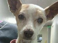 Faye is a senior chihuahua arriving from a high kill