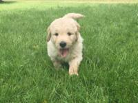 3 Golden Doodle puppies 2 males and 1 female. Ready for