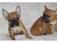 fbgz female french bulldog puppies, vet wellness check,