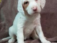 Purebred English Setter puppies birthed December 18th -