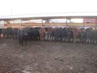 38 hd. Black & Red Angus steers and heifers 515 lb.