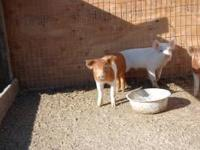 We have 4 little males left. Hamp/York mix. Castrated,