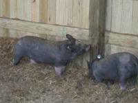 berkshire piglets $100 we have 150 piglets per month