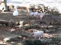 FEEDER PIGS FOR SALE YORK/HAMP WEANED  $45 EACH
