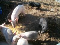 I have 2 barrow (castrated male swine) for sale. They