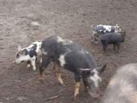 Ossabaw purebreds, and Ossabaw OldSpot crossbreeds,