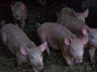 Yorkshire feeder pigs for sale. Eating feed well. 30 to