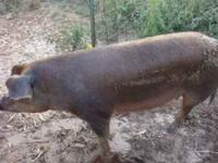 I have 8 weaned feeder pigs for sale, out of Red Sow