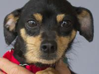 FeFe Fantastic is a 10-month-old Chihuahua mix. This