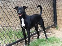 Feist - Chip - Medium - Adult - Male - Dog $110.00